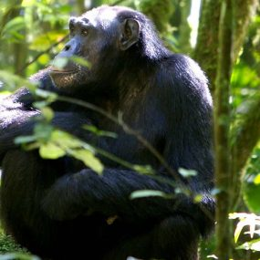 chimpanzee tracking safari to Kibale forest national park