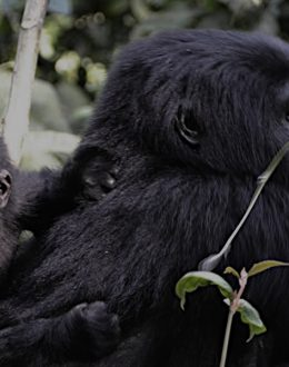 2 days flying Bwindi gorilla trekking safari will take you to Bwindi impenetrable Forest national park in the southwestern part