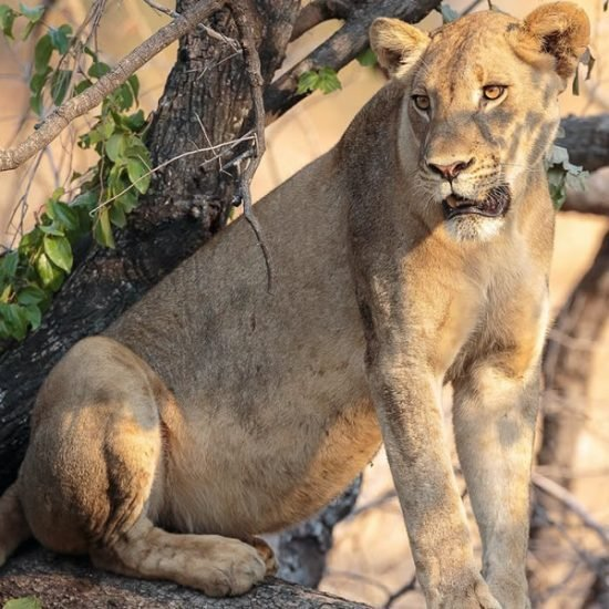 3 days flying Uganda safari to Murchison falls national park is planned for those who do not want long time driving. This safari will take you to Murchison Falls National Park for game drives to search for the wildlife species