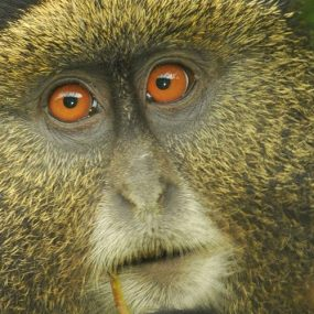 golden monkey trekking and Batwa trail experience safari in Uganda golden monkey and Batwa culture experience Mgahinga gorilla national park