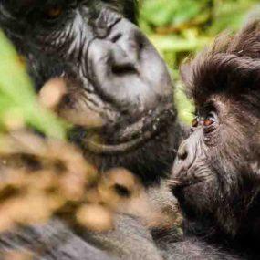 gorilla trekking safari will take you to Bwindi Impenetrable forest national park