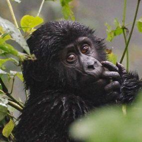 Gorilla trekking safari in Uganda National Park of Uganda Bwindi Impenetrable Forest National Park
