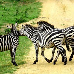 Uganda wildlife safari will take you to Lake Mburo National park. Lake Mburo national park is one of the small adventurous national park in Uganda found in the southwest of Uganda