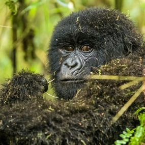 mountain gorilla and wildlife sighting safari will take you to Queen Elizabeth National Park Bwindi Impenetrable National Park