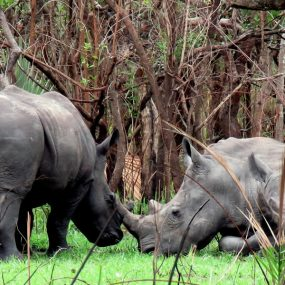 Ziwa Rhino sanctuary is found in Nakasongola district Gulu highway Murchison falls national park