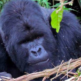 wildlife and Mountain gorilla trekking Ugandan Safari to Queen Elizabeth national park, Bwindi Impenetrable forest national park