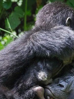 wildlife Chimpanzee trekking and mountain gorilla trekking, Uganda safari, Kibale Forest national park