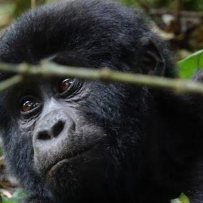 Uganda safari will take you to Lake Mburo National for the boat cruise trip wildlife sighting and mountain gorilla trekking, Bwindi Forest park