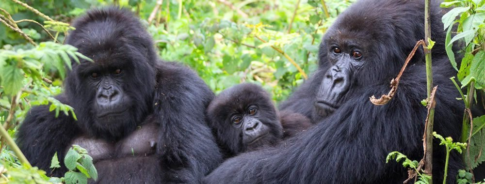 When to see the Mountain Gorillas in Bwindi impenetrable forest national park