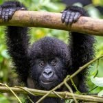 3 Day fly-in Gorilla Habituation Experience Tour in Bwindi Impenetrable forest National Park