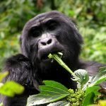 3-day Fly-in Gorilla Habituation Experience safari to Bwindi Impenetrable Forest National Park is designed for visitors who wish to spend more time