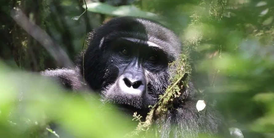 Why Are Buhoma Gorilla Permits Scarce, Bwindi impenetrable forest national park located in southwestern Uganda is divided into four main tracking sectors namely Buhoma sector in the north, Ruhija sector in the east, and lastly Rushaga as well as Nkuringo in the south.