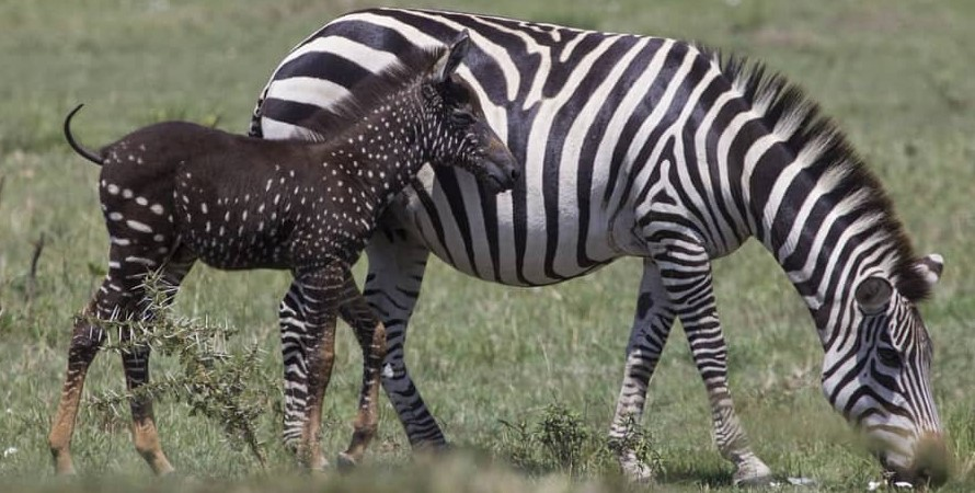 Wildebeest migrating takes Polka Dotted Zebra to Serengeti: Yes, we all know that the wildebeest migration takes place between two conservation areas of Masai Mara national reserve and Serengeti National Park in Tanzania