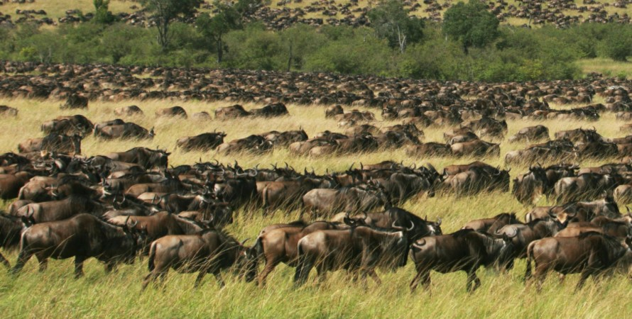 Africa Safari, Wildebeest animals in Masai Mara National Reserve: The wildebeest animals being to the family antelopes and they look more similar to cows. Some of the wildebeest animals in Masai Mara National Reserve are permanent